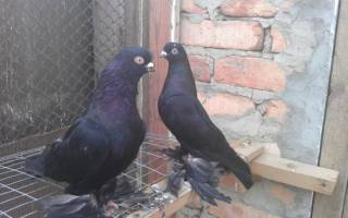 Как вывести новую породу голубей