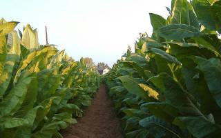Табачный лист для кальяна